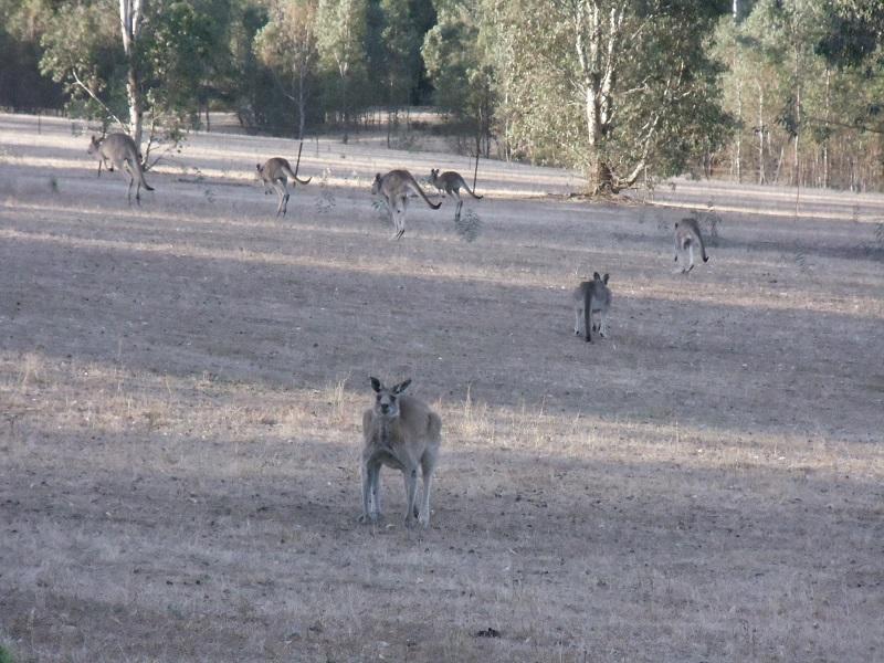 biodiversity-kangaroo